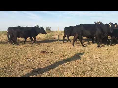 Imagen 38 Vaca en Artigas