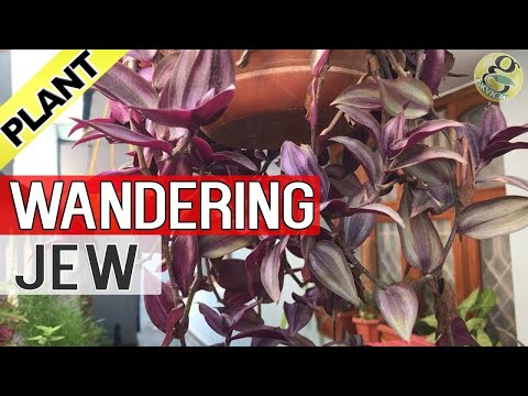 WANDERING JEW Plant Care and Propagation | How to grow Wandering Jew or Inch-Plant - English