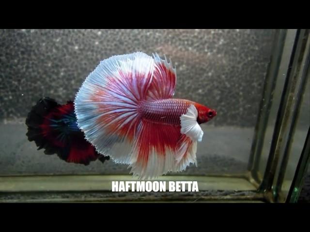 Most Beautiful Types of Betta Fish - Betta  Fish Names