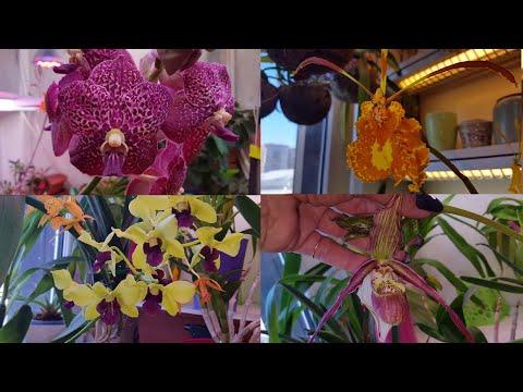 Прелести весны 2020 Любин психопсис butterfly, Ирина ванда и др.