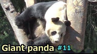 Giantpanda⑪シャンシャンを必死に見守るリーリージャイアントパンダ上野動物園
