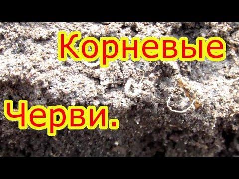 Борьба с корневым червяком (Нематода).