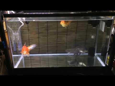 らんちゅう 青文魚 オランダ