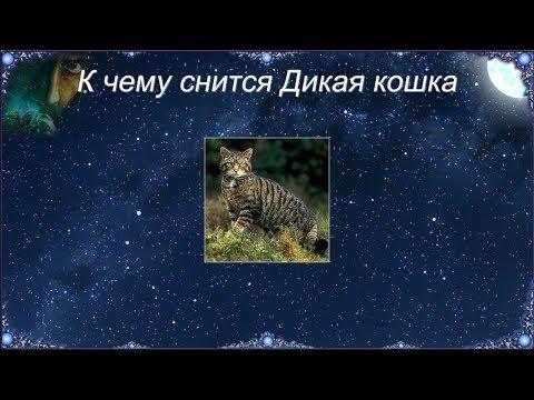 К чему снится Дикая кошка (Сонник)