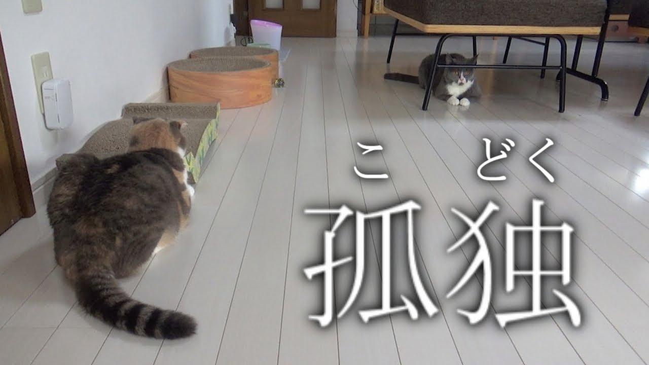 【悲しい…】スコティッシュフォールドがさ、大人になるってこういう事なんだな。もう過ぎた時間って取り戻せないんだな。 #猫 #cat #スコティッシュフォールド #がさ #大人 #時間