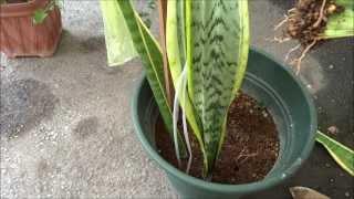 葉挿しサンスベリアから3か月後に新しい根が出ました。
