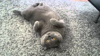 British Cat . Британский Кот