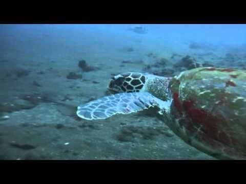 Schildkröte am Wrack der US Liberty, Bali/Tulamben,Indonesien