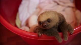 面白かわいい可愛すぎてキュン死♡赤ちゃんナマケモノ動物赤ちゃんsloth