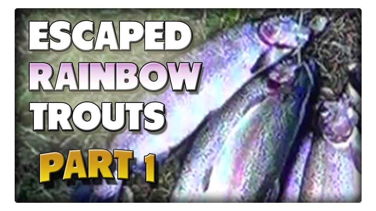 Angeln auf die ausgebrochenen Regenbogenforellen! Teil1
