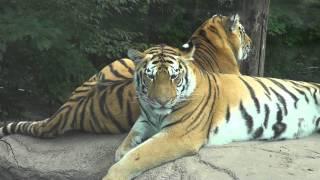 Большие киски/Уссурийские тигры