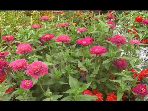 Цинния:  выращивание и уход