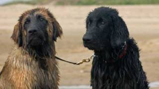 LEONBERGERS LUCKY & LUCA