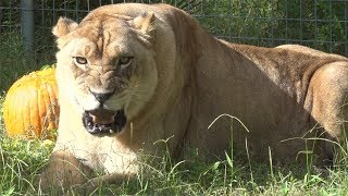Lions Are NOT Pets!