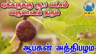 ஏக்கருக்கு ரூ.5 லட் சம் வருமானம் தரும் ஆப்கன் அத்தி பழம்   Afghan Fig Fruit Farming 