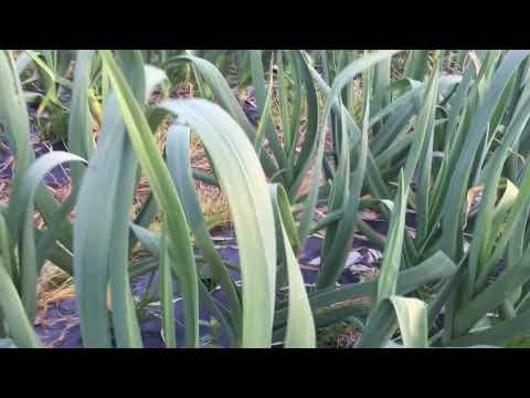 Video Budidaya bawang putih tanpa bahan kimia (umur 3bln setengah)