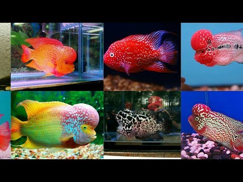 Flowerhorn Fish - Wholesale Price for Floran Fish in India