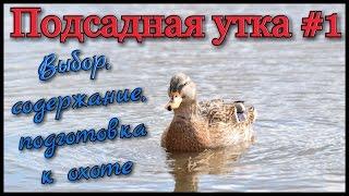Подсадные утки: содержание и уход в домашних условиях