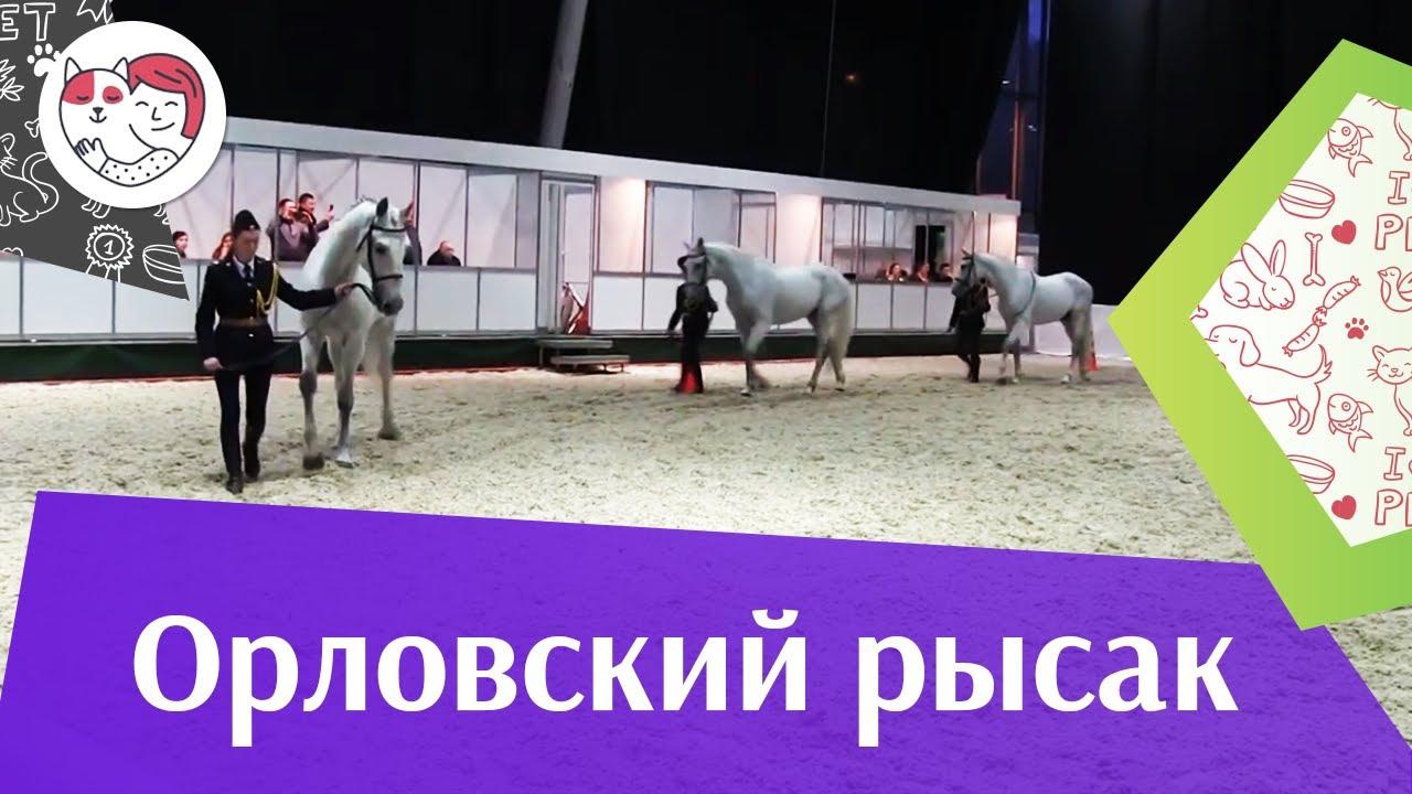 ЛОШАДИ Орловский рысак  1 ЭКВИРОС 2016 на ilikepet