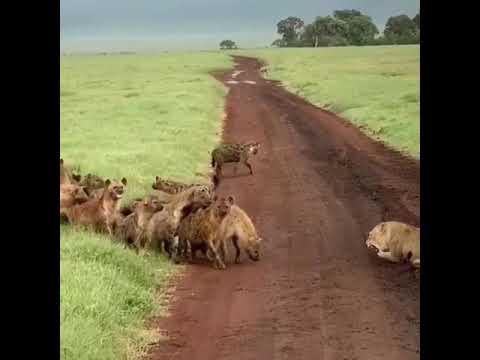 Hyenas vs Lioness