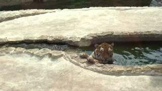 Тигр в жару спасается в воде
