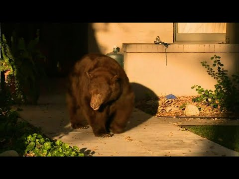 Bear spotted in southern California neighborhood