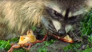 Raccoon - Hunting Rock Crabs