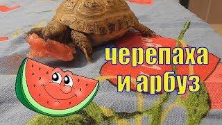#смешнаячерепаха #смешныеживотные #забавныепитомцы Черепаха и арбуз/ Смешная черепаха