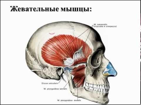 Височно-нижнечелюстной сустав: строение, функция, кровоснабжение, иннервация