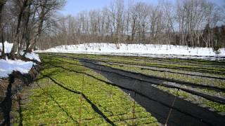 雪の安曇野で春を待つ大王わさび農場