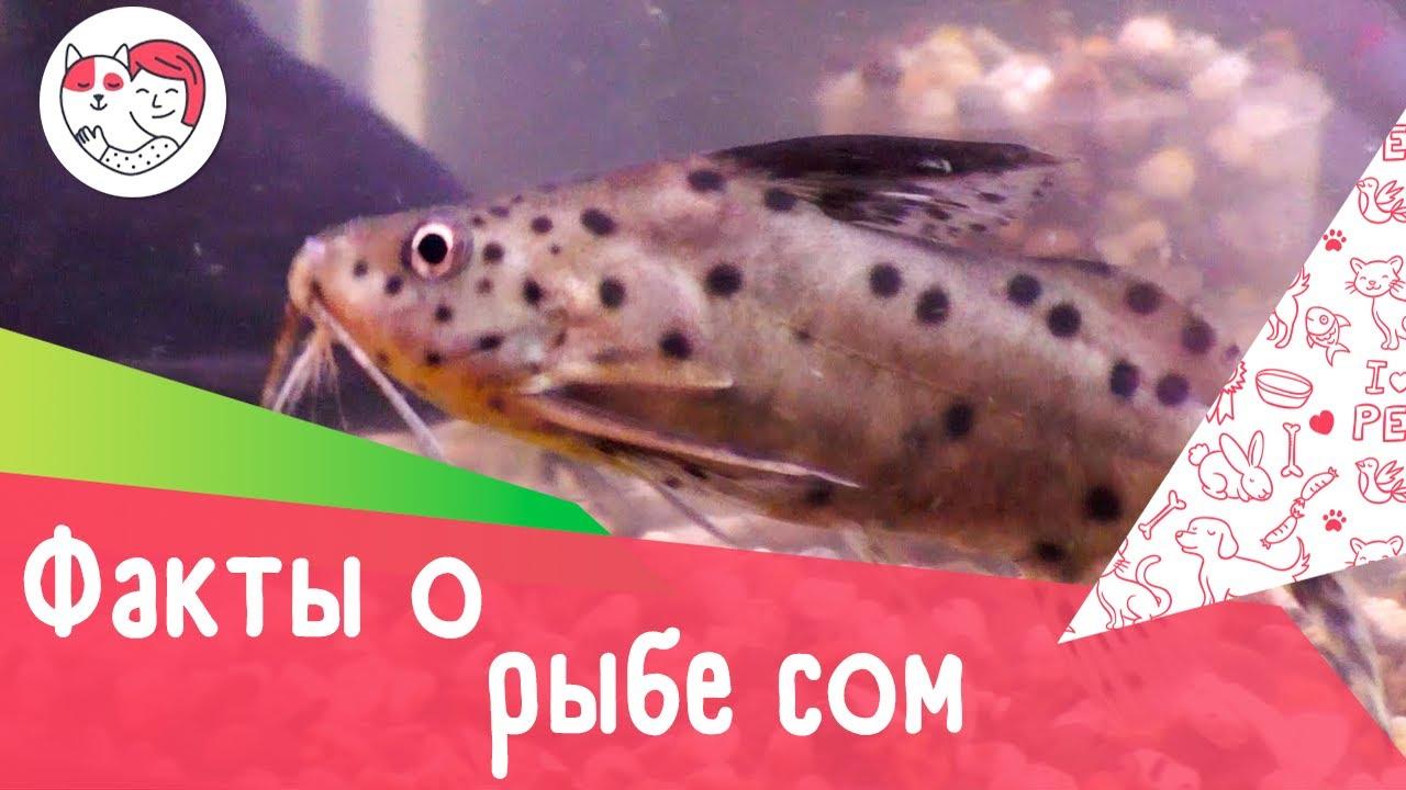 5 интересных фактов о рыбе сом