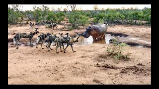HIPPO surrounded by PACK of WILD DOGS