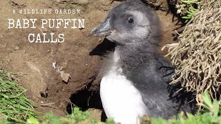 Baby Puffin Chick Calling
