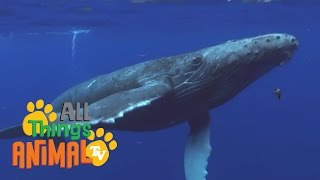 * HUMPBACK WHALE * | Animals For Kids | All Things Animal TV