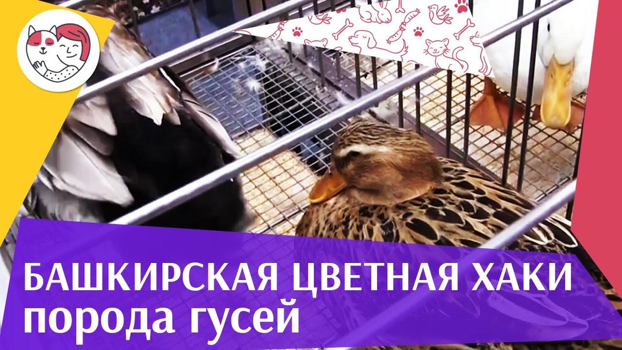 Порода  гусей БАШКИРСКАЯ ЦВЕТНАЯ ХАКИ  Агропромышленная выставка Золотая  осень 2016 iLikePet