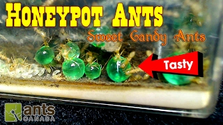 Sweet Candy Ants - Honeypot Ants | Ant Love Contest 2017