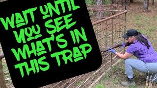 Trapping Wild Hogs In Louisiana