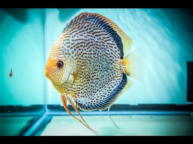 Beautifull Rear fish Discus,Feeding,Care,Breeding Discus Fish