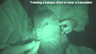 Training Kakapo Chicks to Wear a Telemetry Transmitter