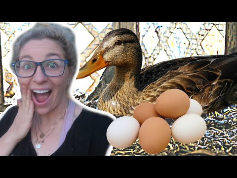 , title : 'Our DUCK is SITTING ON her EGGS! Naturally hatching duck eggs