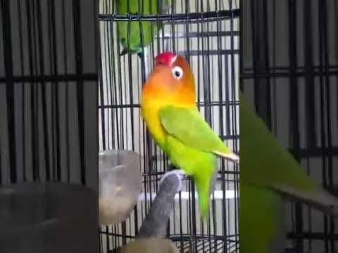 mp4 Lovebird Ngekek Durasi Panjang, download Lovebird Ngekek Durasi Panjang video klip Lovebird Ngekek Durasi Panjang