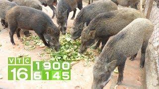 Bí Quyết Nuôi Lợn Rừng, Dê Núi Tại Ninh Bình | VTC16