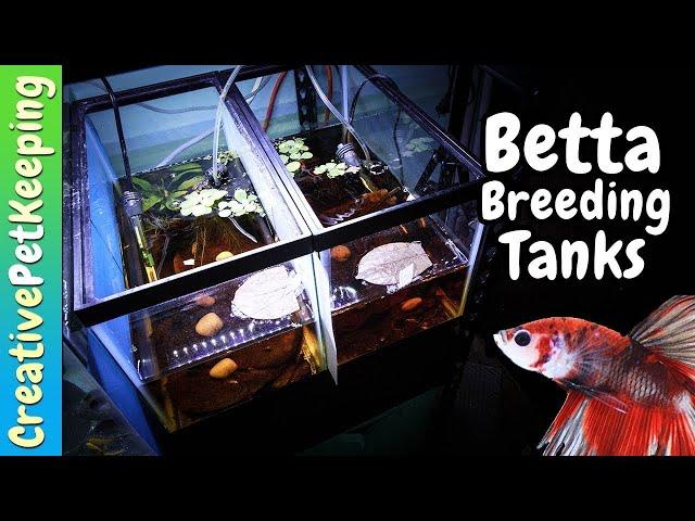 HOW TO Set Up a Natural Betta Breeding Aquarium | Betta Fish Spawning Tank