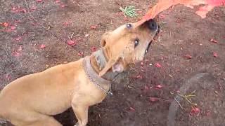 MATRACA pit bull fight