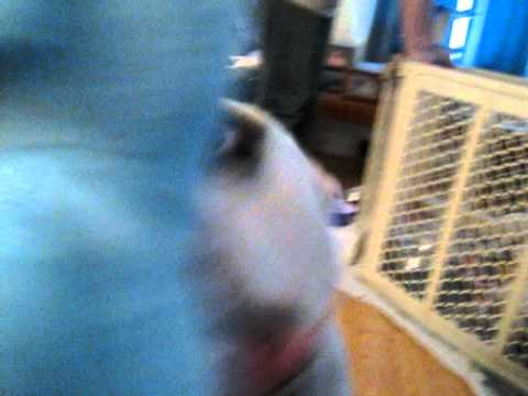 Angel, an adopted American Bulldog & English Bulldog Mix in Rockville, MD