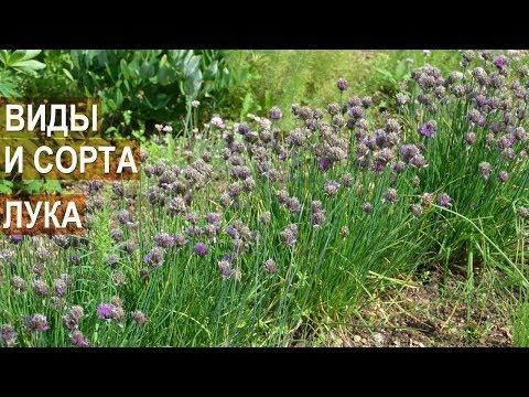 Виды и сорта лука, выращиваемые селекционером Сузаном В.Г.