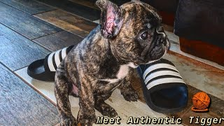 Surprised The Kids With A French Bulldog Puppy | Authentic Benny