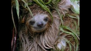 Sloth - Fur