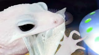 GECKO EATS ITS OWN SKIN!!! RARE FOOTAGE OF IT HAPPENING!! | BRIAN BARCZYK
