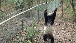 preview picture of video 'Panda Aihin  January 6th., 2014 愛浜  成都 大熊猫'
